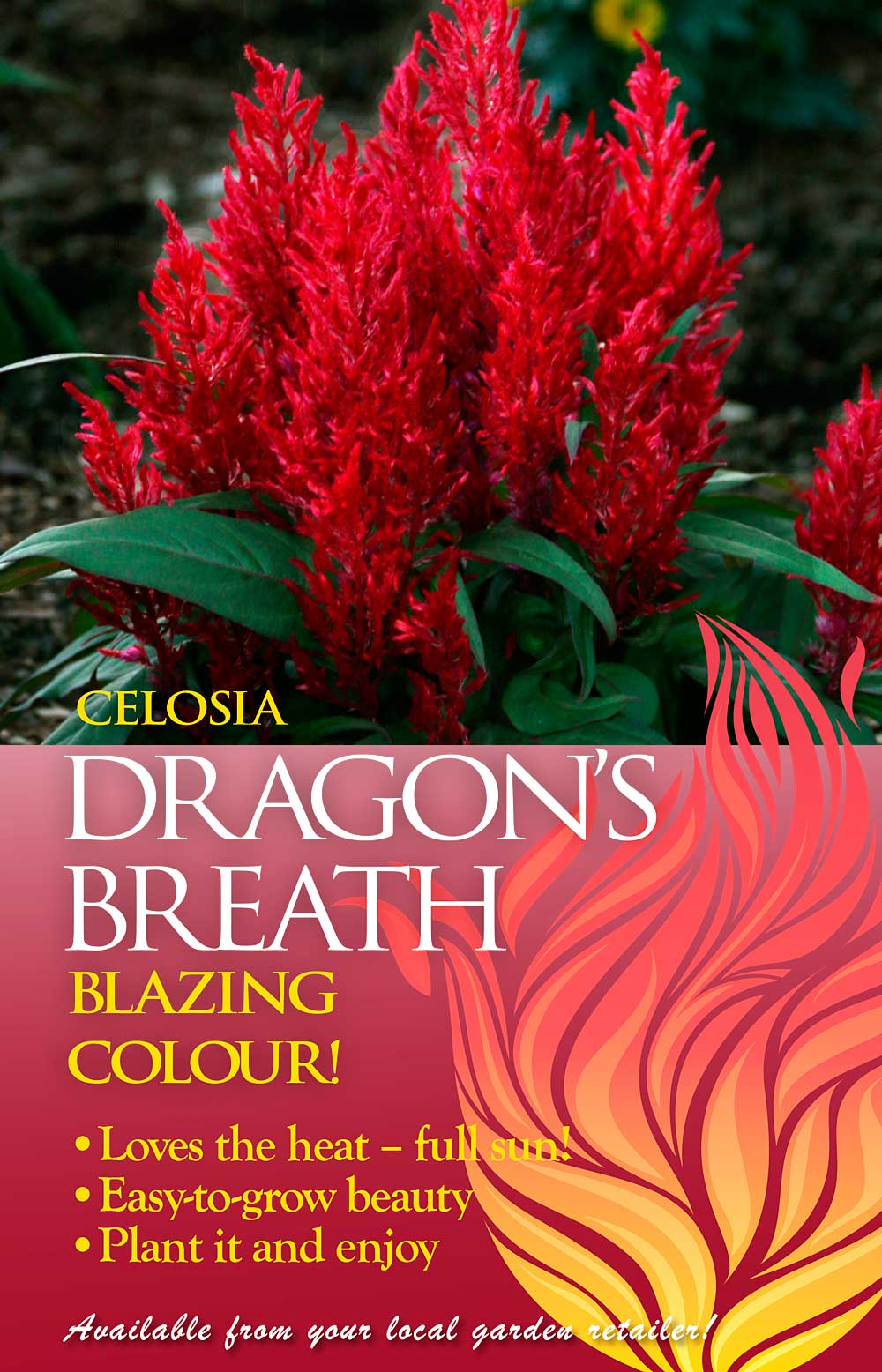 Celosia Dragons Breath Ball Australia
